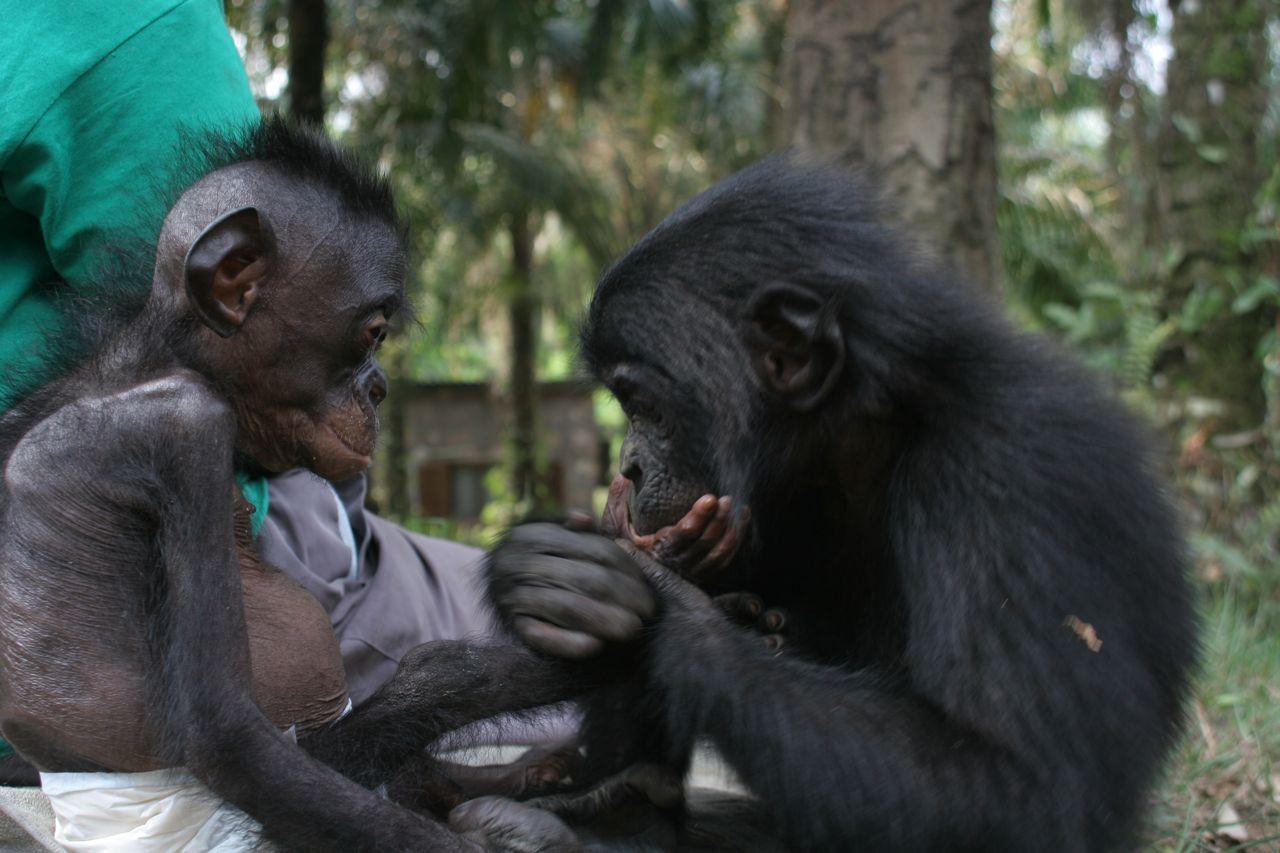 http://2.bp.blogspot.com/-wjumGEuzuh8/Tm0LK25rLGI/AAAAAAAAAFA/L5rVt0ydyak/s1600/bonobo-wallpapers-7-731063.jpg