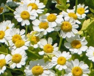 Khasiat Bunga Tanacetum parthenium Untuk Kesehatan