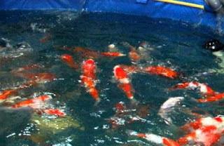 Cara Budidaya Ikan Koi Kolam Terpal yang Benar