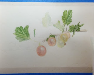 watercolour gooseberry, vellum, paper