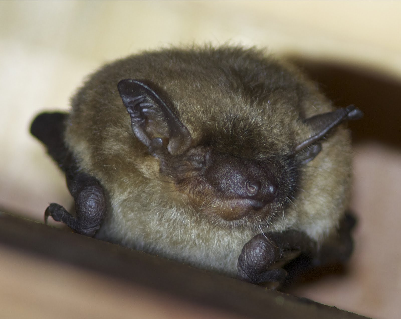 Little brown bat - photo#13