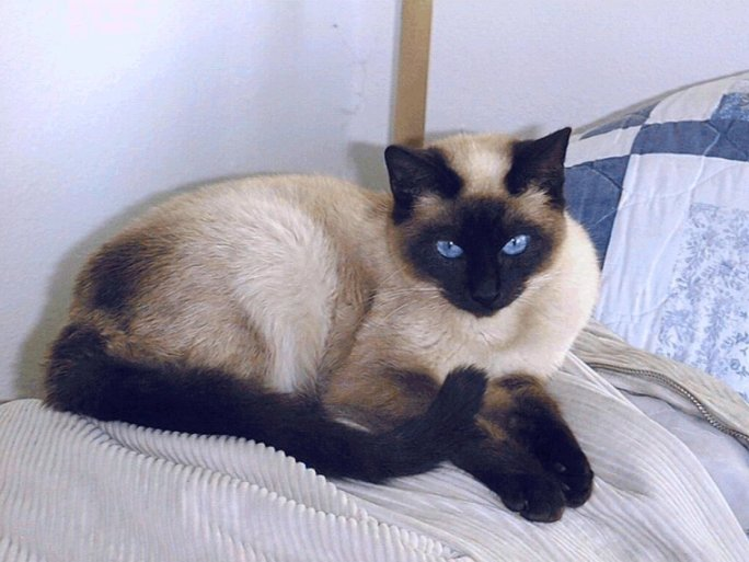 Lame Cherry: A Seal Point Siamese Cat