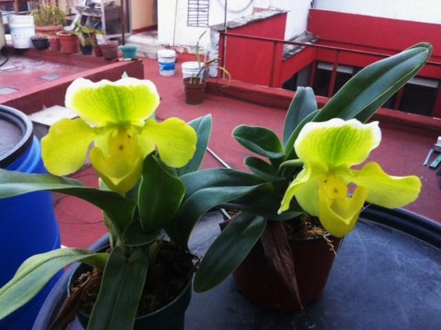 Disponemos de algunas plantas para su venta, de este bello paphio amarillo hibrido. Consulta nuestra pagina en facebook orquideas y mas
