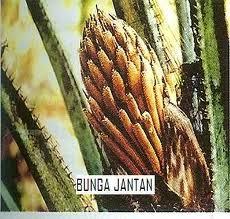 bunga kelapa sawit jantan