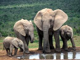 Elephants image