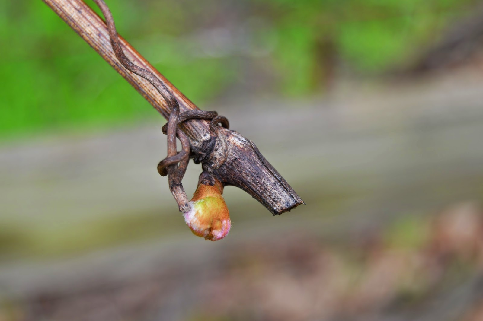 leaves budding on a grapevine