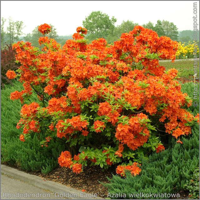Rhododendron 'Golden Eagle' - Azalia wielkokwiatowa