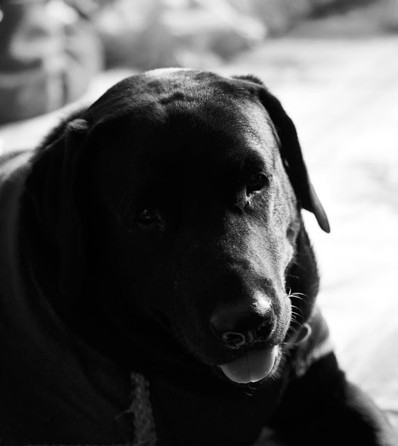 Ringo, my black Labrador