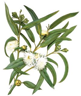 Flores y plantas medicinales contra la tos