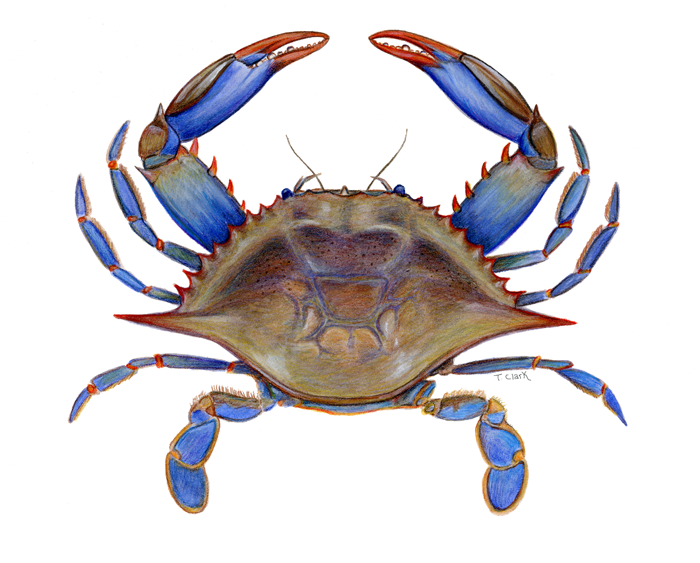 "... is Callinectes Sapidus meaning ""beautiful swimmer that is savory"