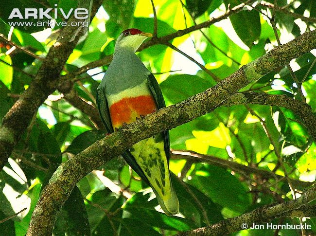 Wallace´s fruit dove