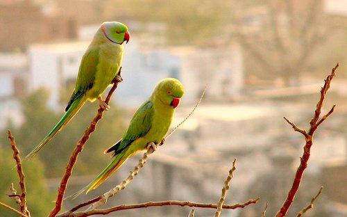 Indian Parrot Bird