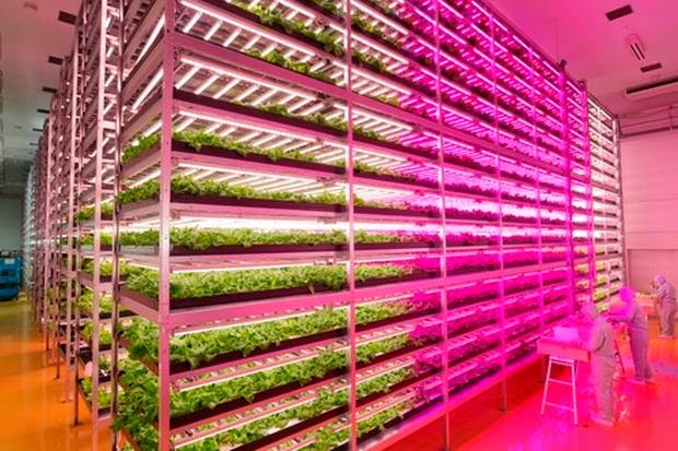 Industrial farming -world's largest indoor farm illuminated by LEDs