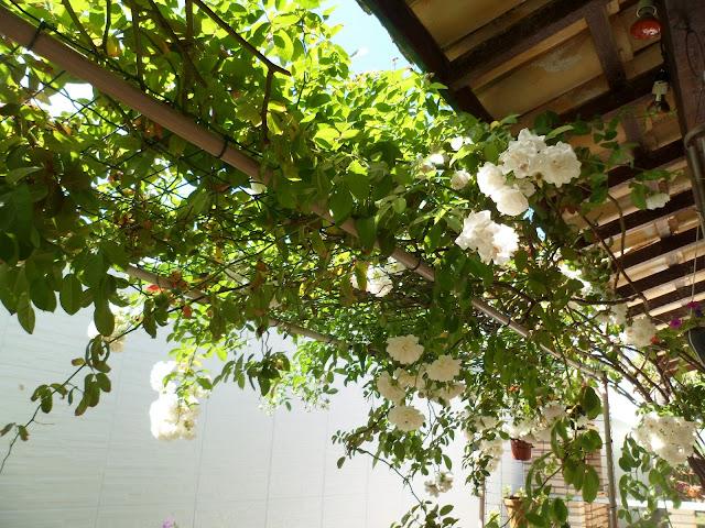 meu jardim - rosa trepadeira - pergolado