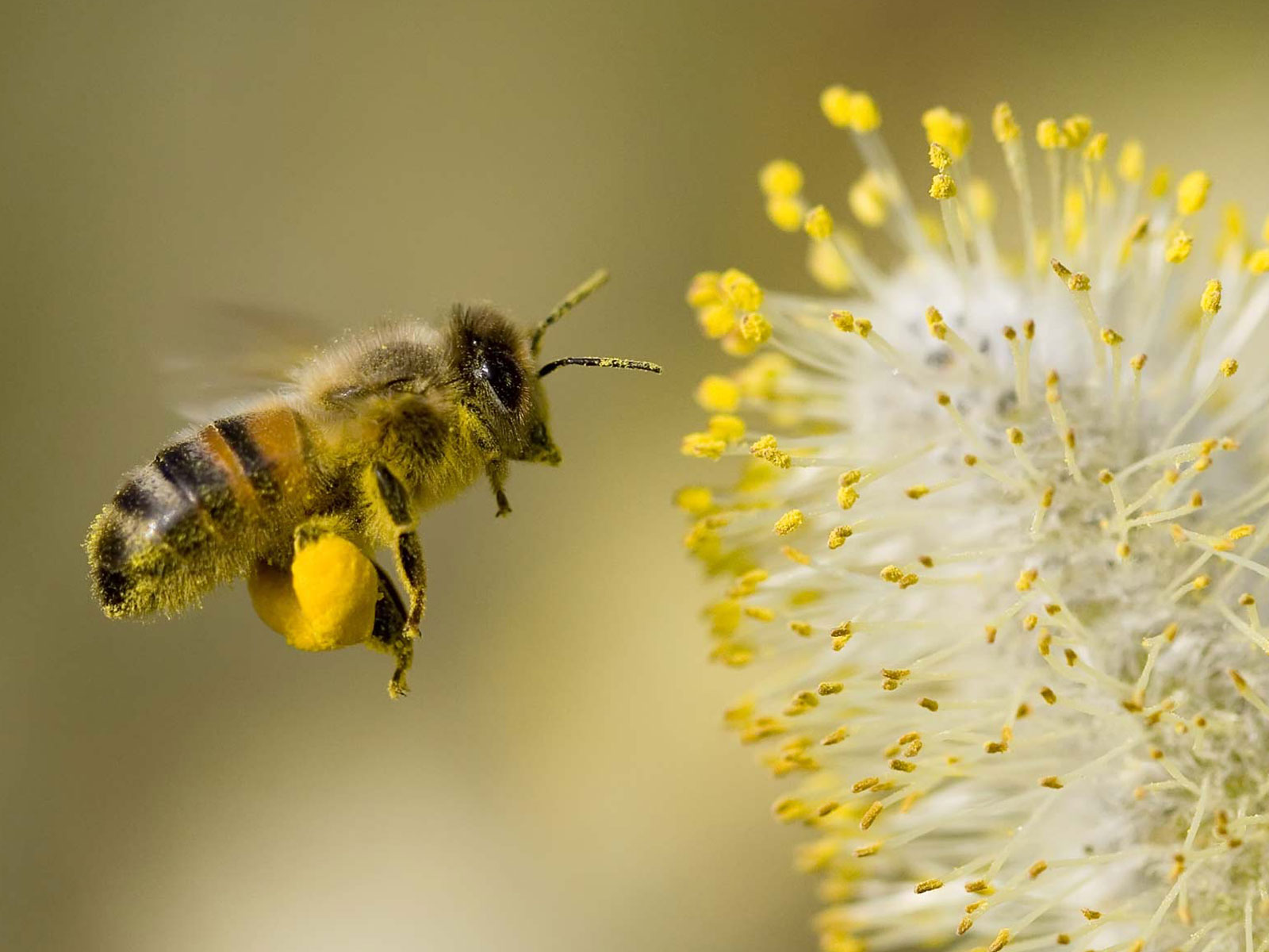 Honey Bee Lavender Nectar Wallpapers Best Wallpapers