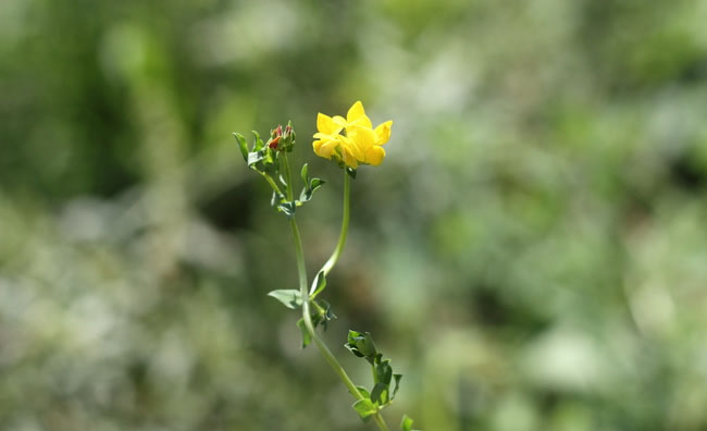 Birds-Foot Trefoil Flowers