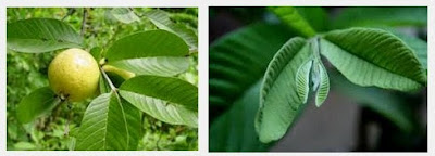 manfaat dan khasiat daun jambu biji untuk kesehatan