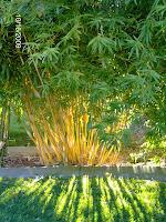 Bamboo Plants2