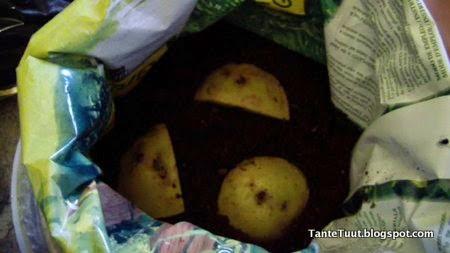 Aardappelen planten in zakken