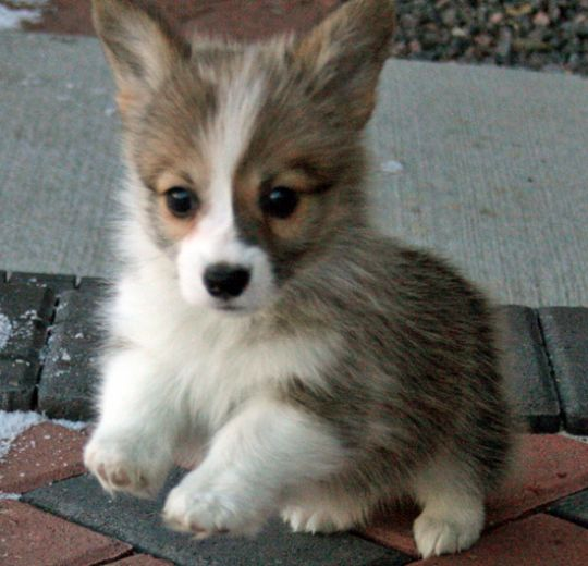 ... made it to the end of a long, somewhat heavy article. Here's a corgi