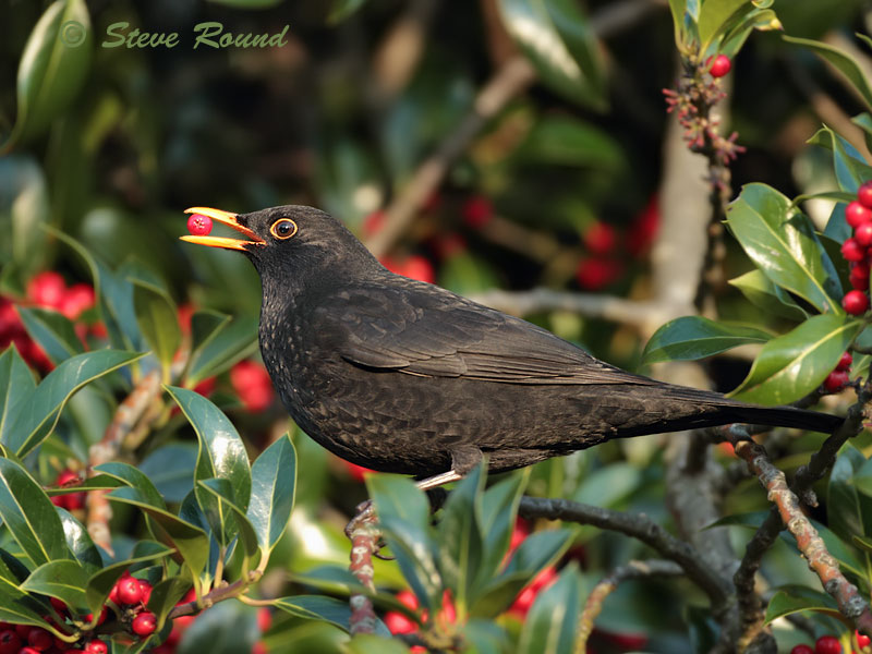 thrush, blackbird, festive, season, winter, bird, berries