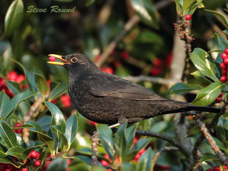thrush, blackbird, festive, season, winter, bird, berries