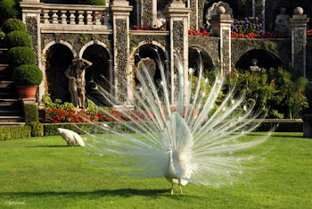 Peacock, Garden of Isola Bella