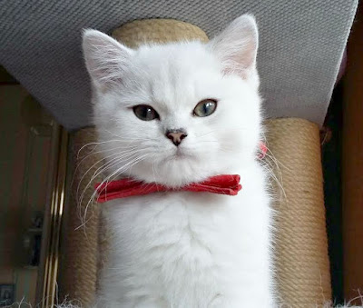 Silver shaded British shorthair kitten