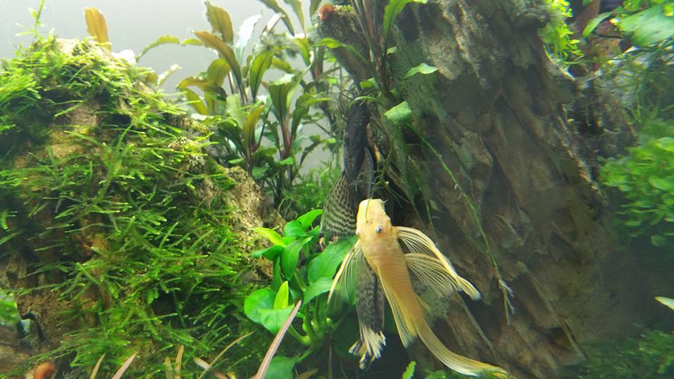 Cá pleco trống mái trong bể thủy sinh