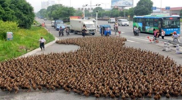 Parade bebek di jalan