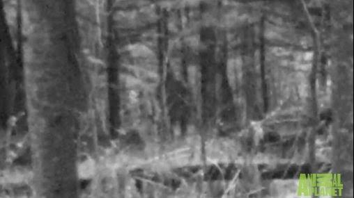 Michigan Bigfoot On Game Cam