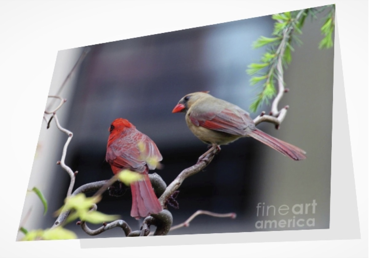 CARDINAL LOVE 3 (GREETING CARD OR PRINT)