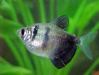 pez monja gris zooaquarius