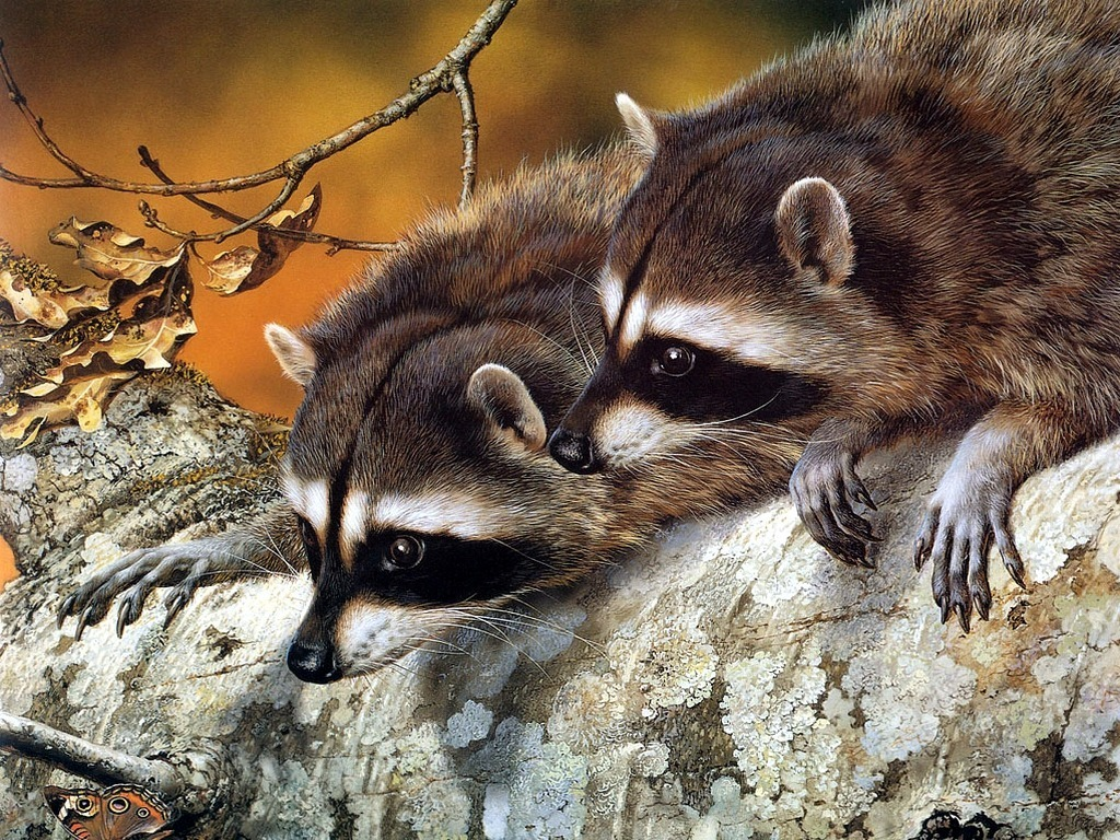raccoons pets cute and docile