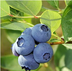 Benefits Blueberries Fruit for Health