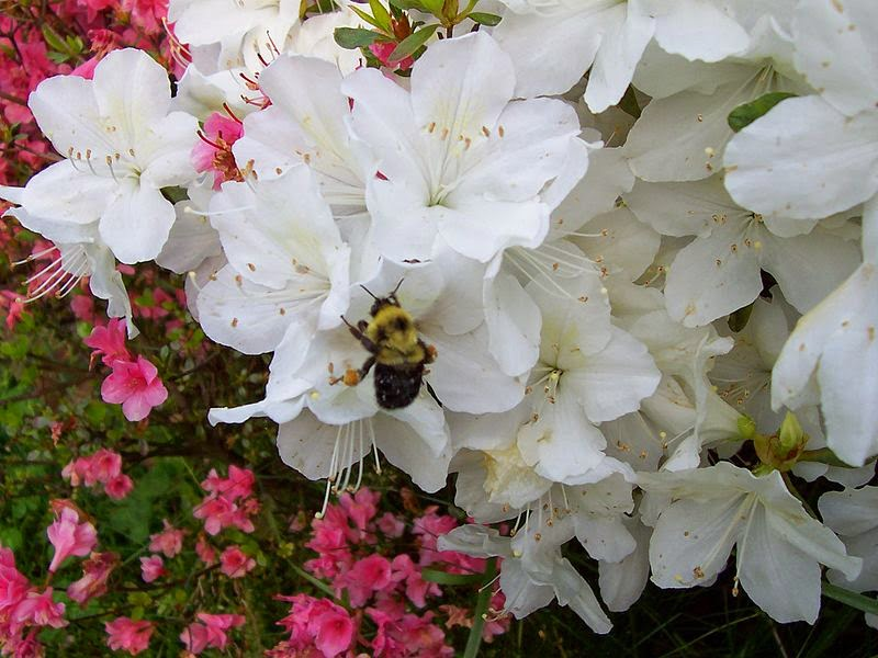 bee on azalea