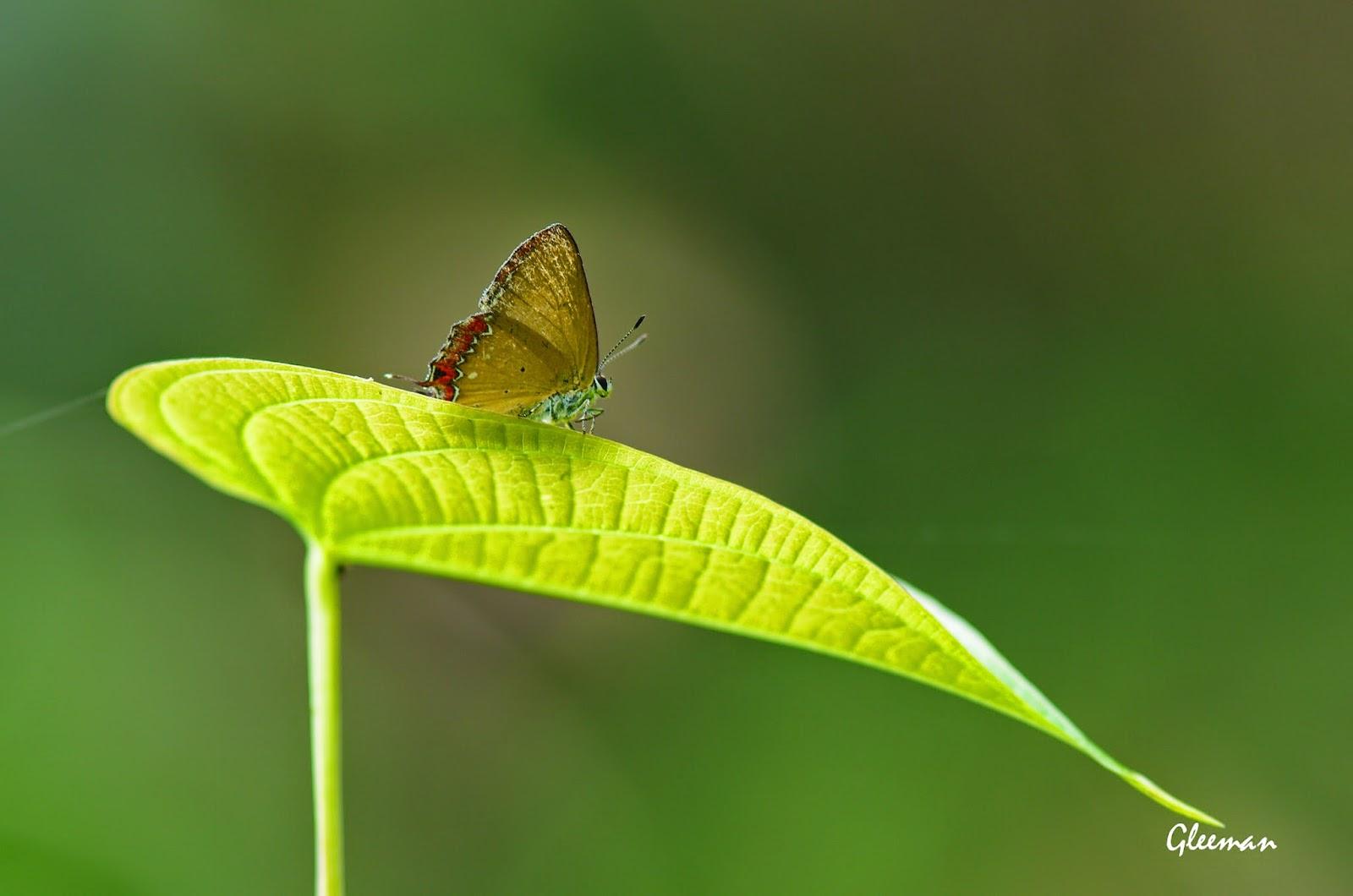 紅邊黃小灰蝶於雞南山。
