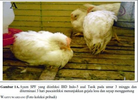 PENYAKIT GUMBORO (INFECTIOUS BURSAL DISEASE) PADA AYAM