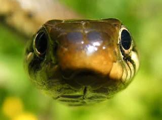 uk snake species