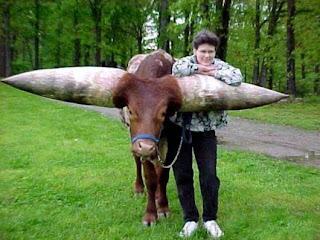 Watusi bull