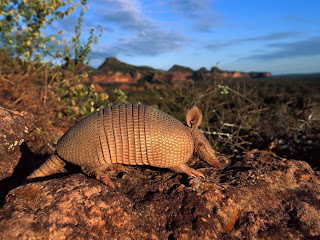 Armadillo Wallpapers