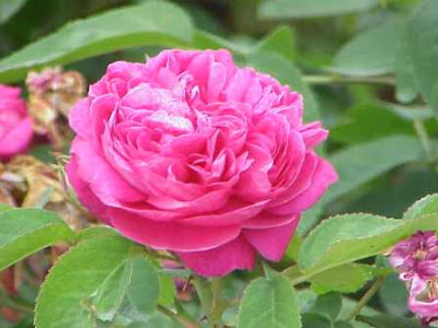 rosa damascena flowers
