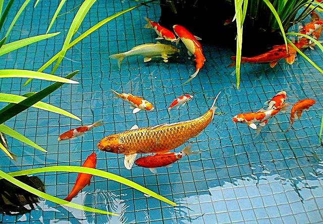 Kriteria Air Kolam Ikan yang Baik