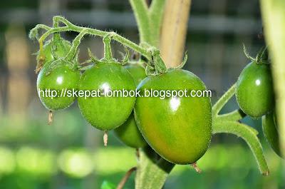 tomat organik dibudidayakan oleh petani rinjani pano lombok