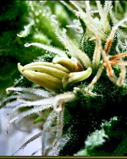 pólen de uma planta de maconha fêmea estimulada