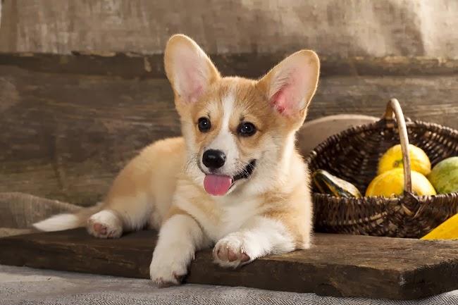 Czy pies może być wegetarianinem lub weganinem