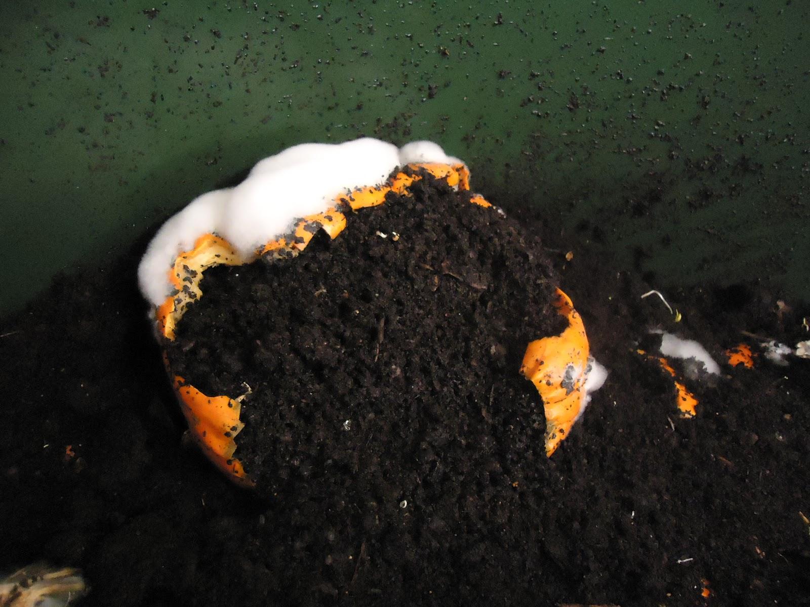 moldy pumpkin