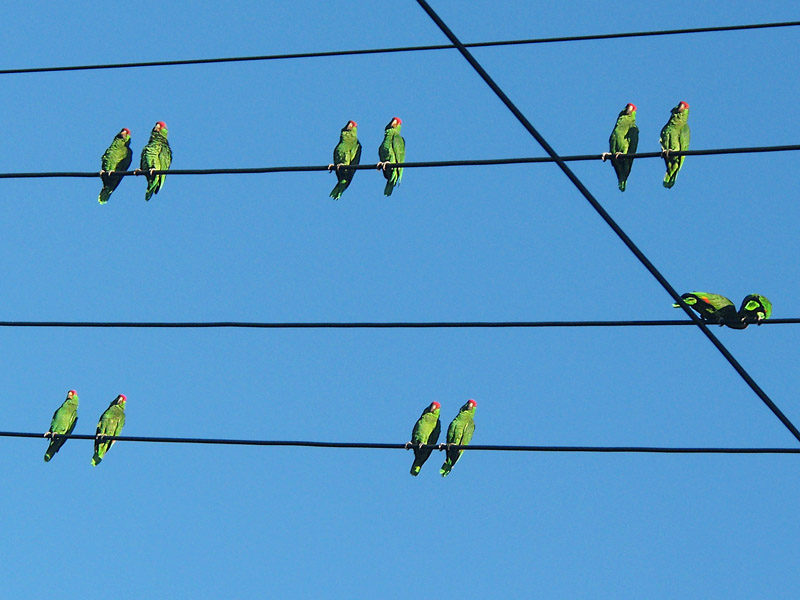 Pairs of wild parrots sitting on utility wires in Pasadena California