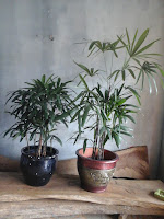 palm wergu ukuran standar