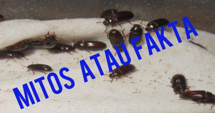 Manfaat Semut Jepang, Mitos atau Fakta